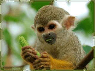 fakta om apor